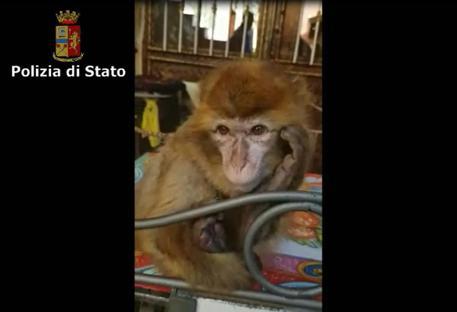 CATANIA: Ruba la scimmia di un bambino malato, denunciato