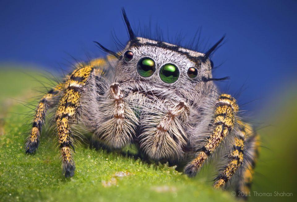 Macro Photography Phidippus Mystaceus Spider