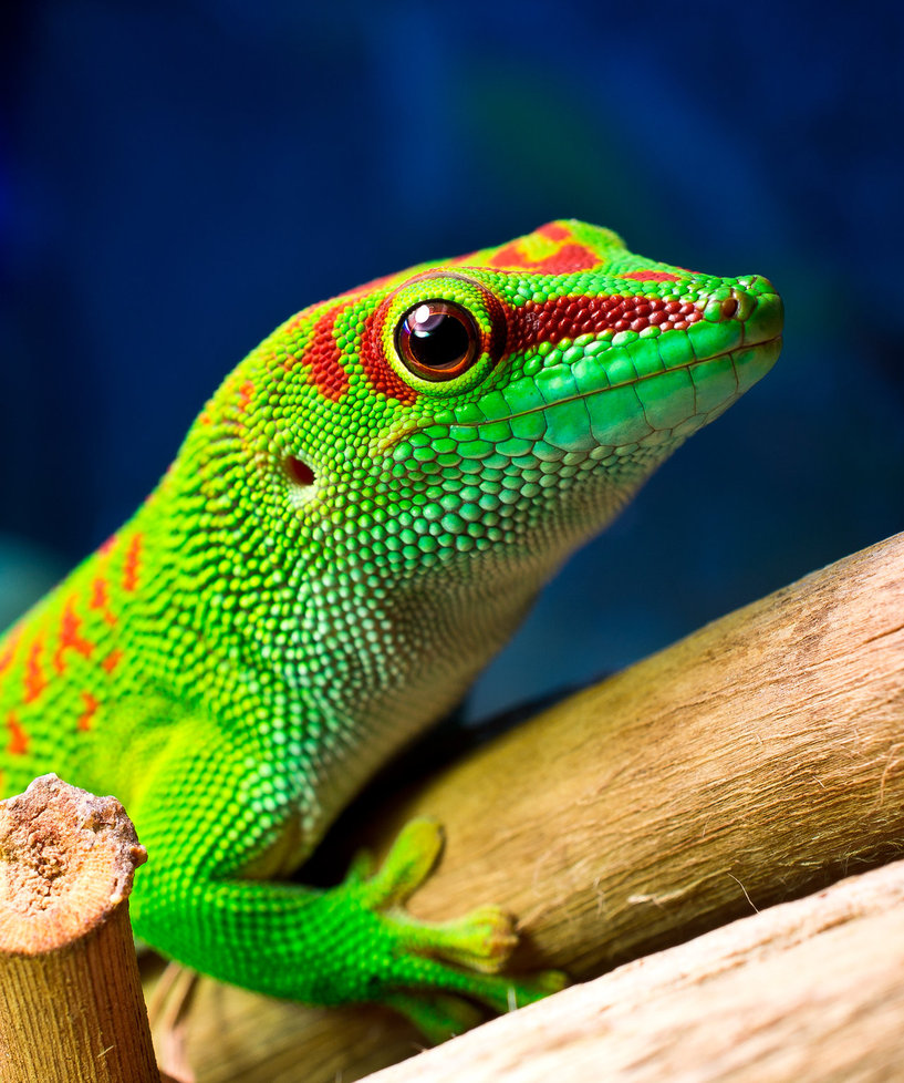 beauty phelsuma madagascariensis photos 2