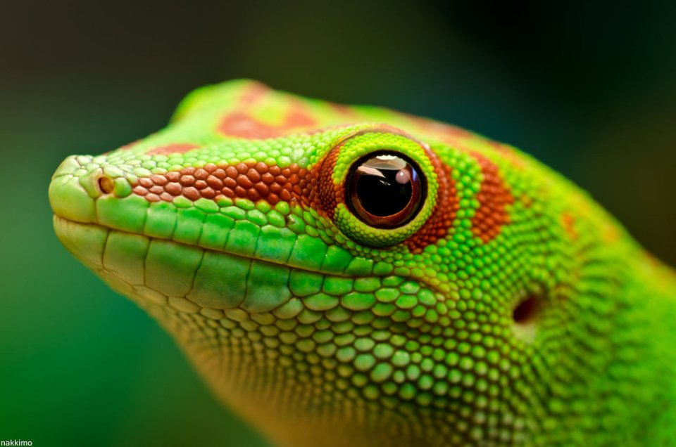 beauty phelsuma madagascariensis photos 3
