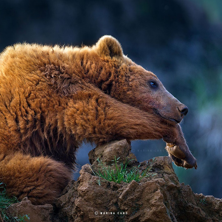 Cute bear wild animals photography by Marina Cano 01