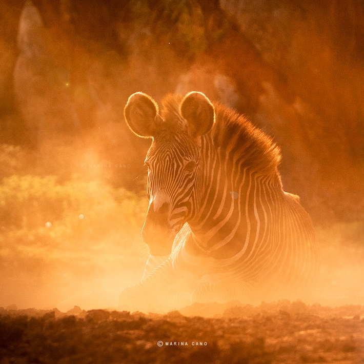 Zebra wild animals photography by Marina Cano 01