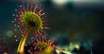 The Beauty Macro Photography of Carnivorous Plants by Joni Niemela