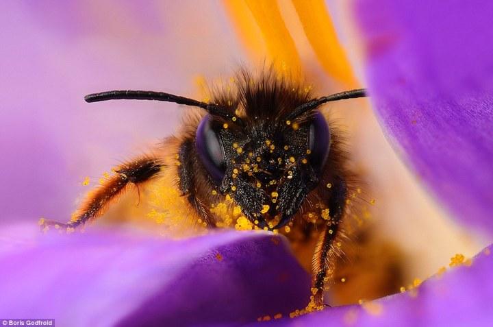 Detailed Bee Macro Photos