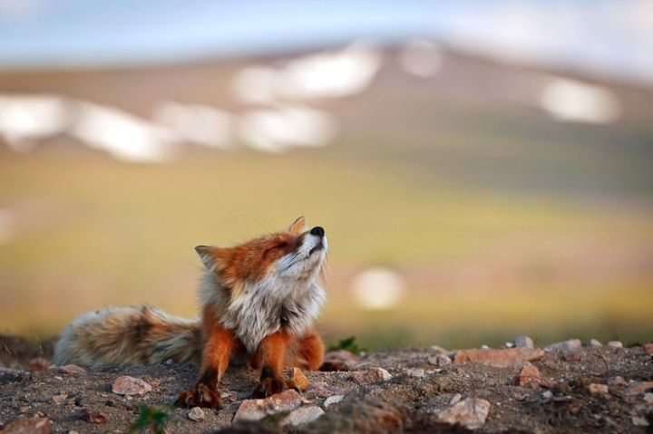 Beauty Foxes Photography In The Arctic Circle by Ivan Kislov 02