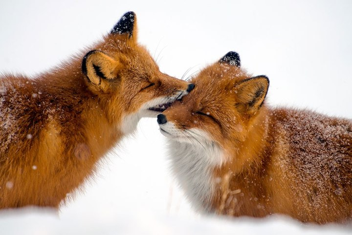 Beauty Foxes Photography In The Arctic Circle by Ivan Kislov 04