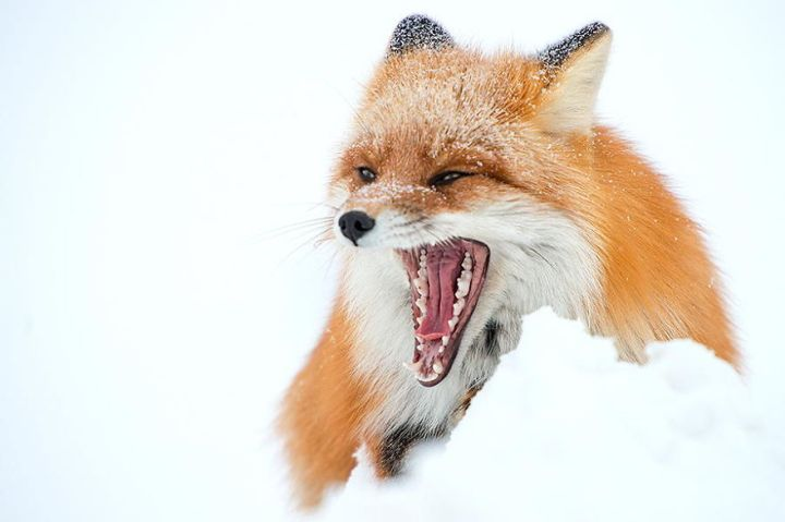 Beauty Foxes Photography In The Arctic Circle by Ivan Kislov 06