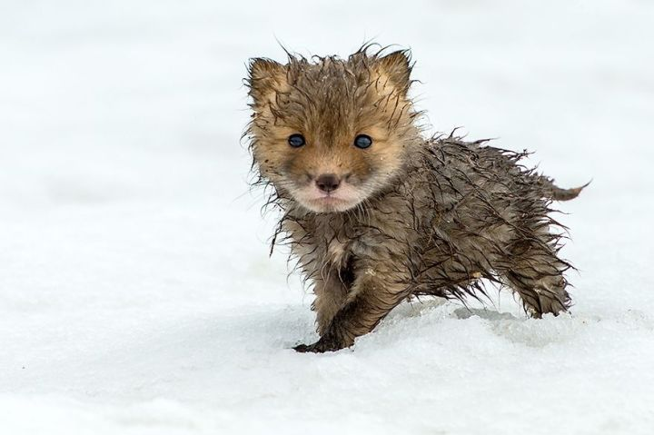 Best Photoshoot of Life Foxes In The Arctic Circle by Ivan Kislov