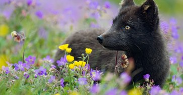 15 Beauty Photo Of Rare Black Foxes