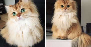 beautiful-fluffy-cat-british-longhair-coverimage