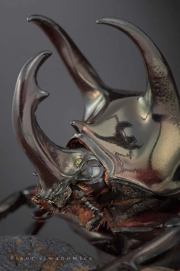 Extreme Macro Photography by Blepharopsis 3