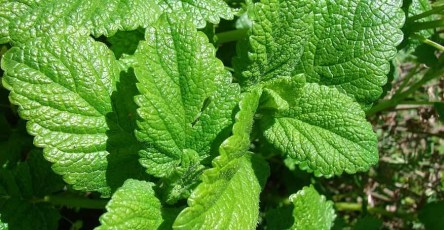 Why You Should Grow Lemon Balm in Your Garden