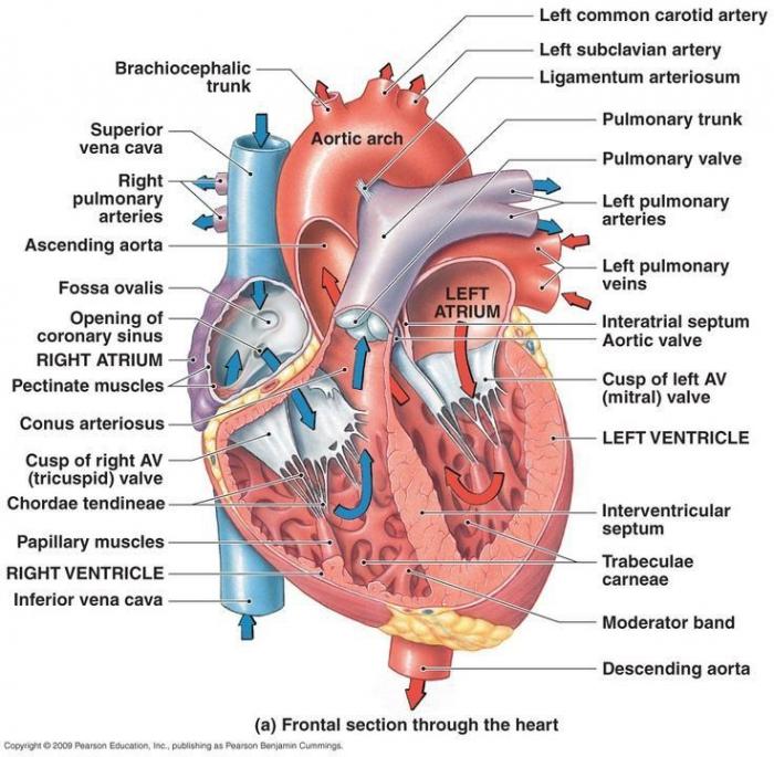 Human Body Diagram Worksheets 99worksheets