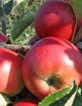 Jabuka - Apple
