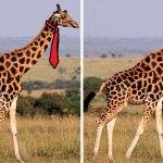 how-giraffes-wear-ties