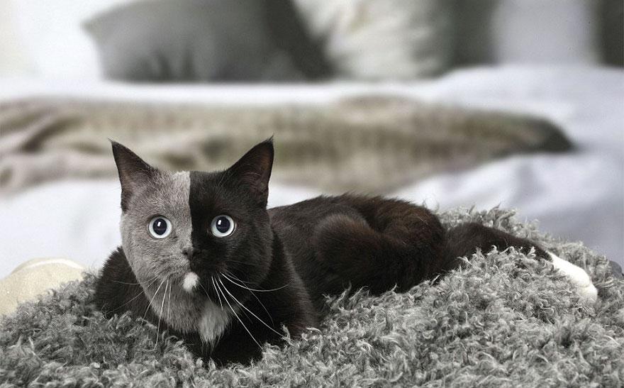 two-faced-cat-british-short-hair-france-jean-michel-labat-9Mood-010