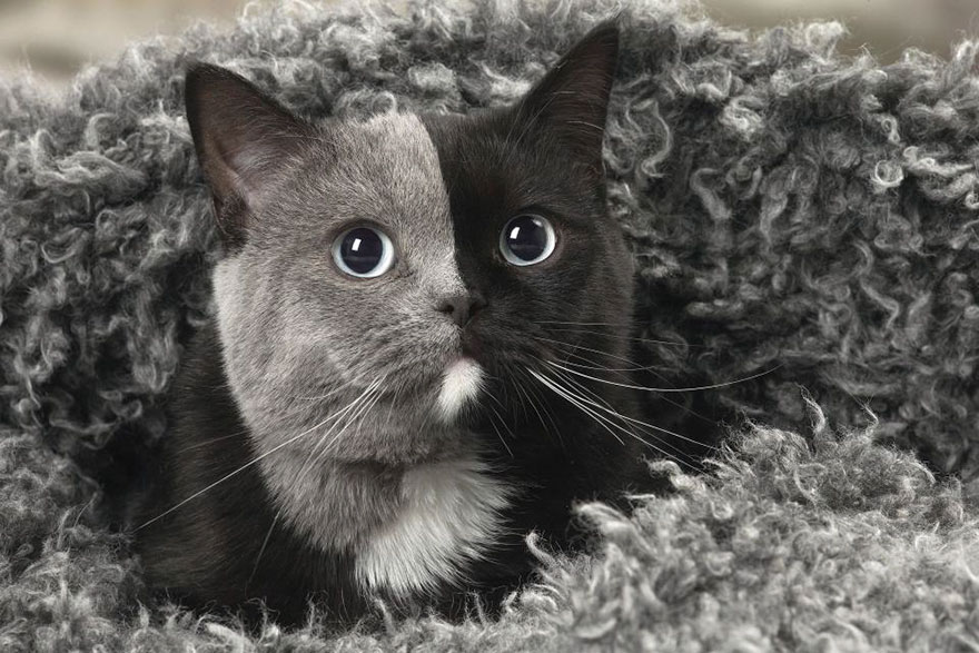 two-faced-cat-british-short-hair-france-jean-michel-labat-9Mood-9
