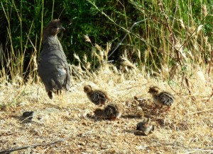 Watching the baby quail was a delight, and they didn't mind I only had my pajamas on.