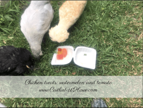what do backyard chickens eat treats