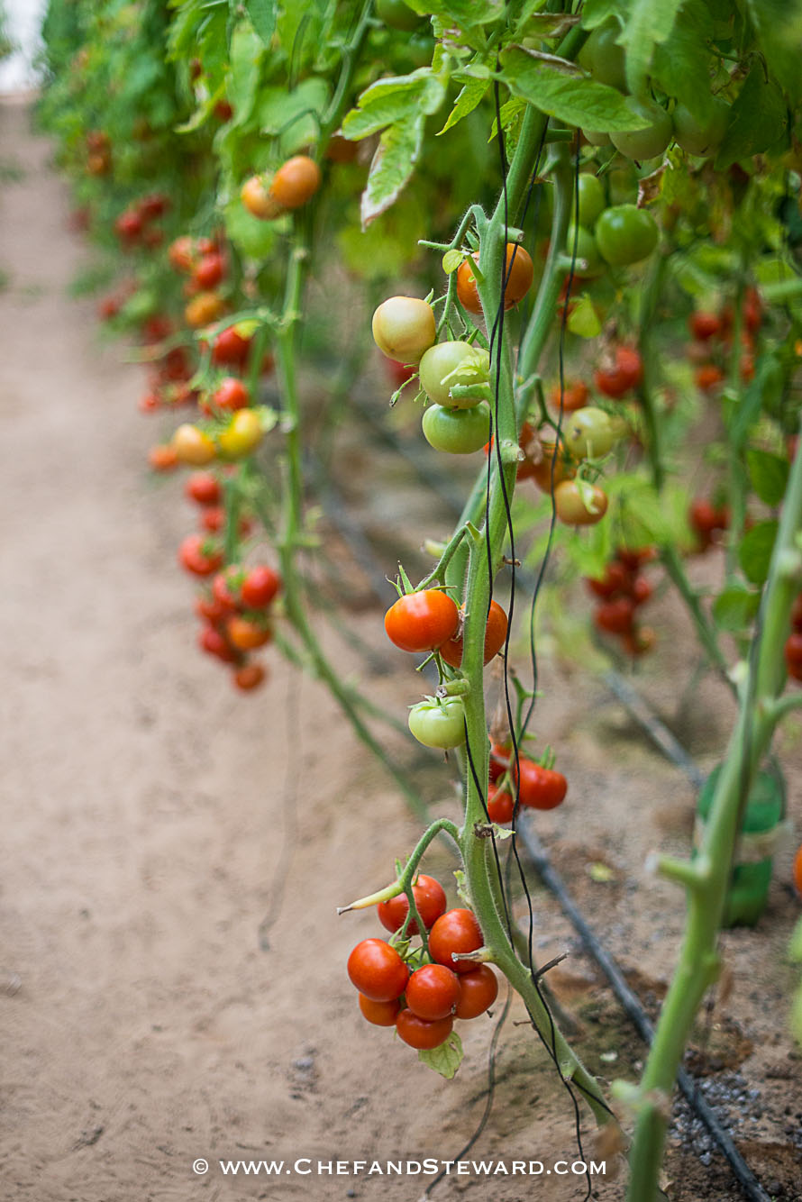 Growing tomatoes in the desert