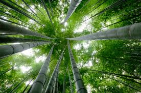 BambooTree1