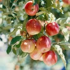 FruitTree