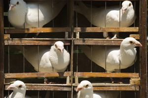 white racing pigeons in next boxes