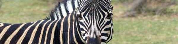 zebra singapore zoo