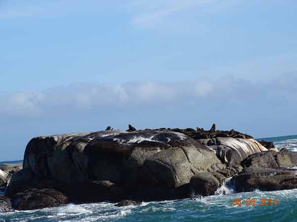 sea lions at cape of good hope