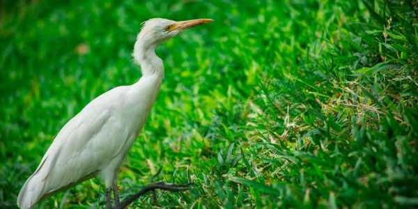 White Heron or the Kokokan Petulu Bali's Heron Village Laidbacktraveller.com Laid Back Traveller