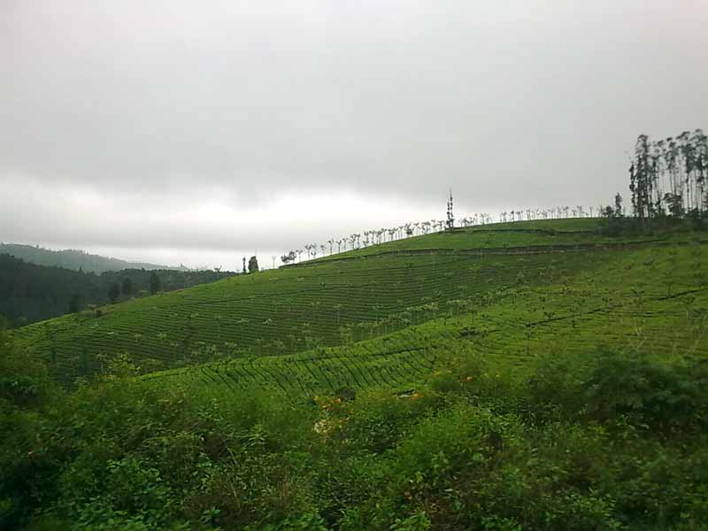 Ooty - A guide to the Queen of Hill-stations - Tea Estates