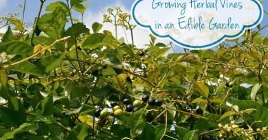 How to Grow Herbal Vines in an Edible Garden