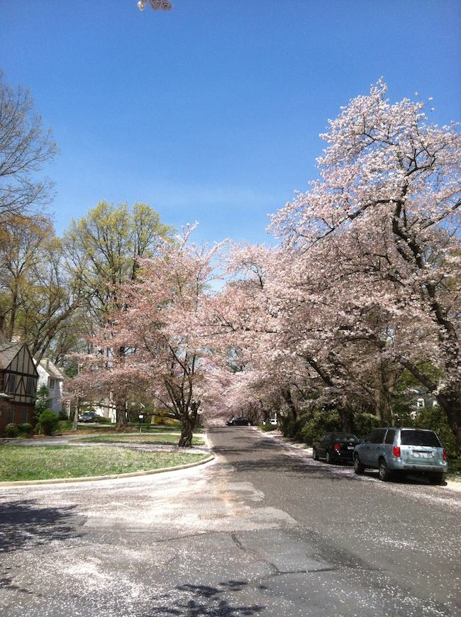 Washington DC cherry blossoms in Kenwood Maryland