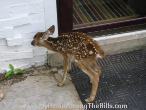 fawn knocking on the door
