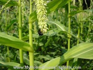 Blue orchard mason bees on corn