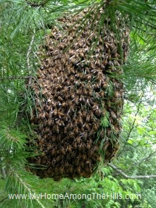 Big swarm of bees
