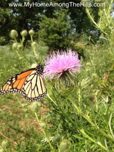 Bull thistle with a butterfly on it