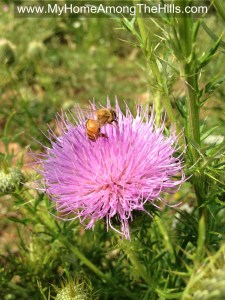 Bull thistle with a honey bee on it