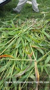 Cutting sorghum cane