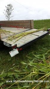 Harvesting sorghum cane