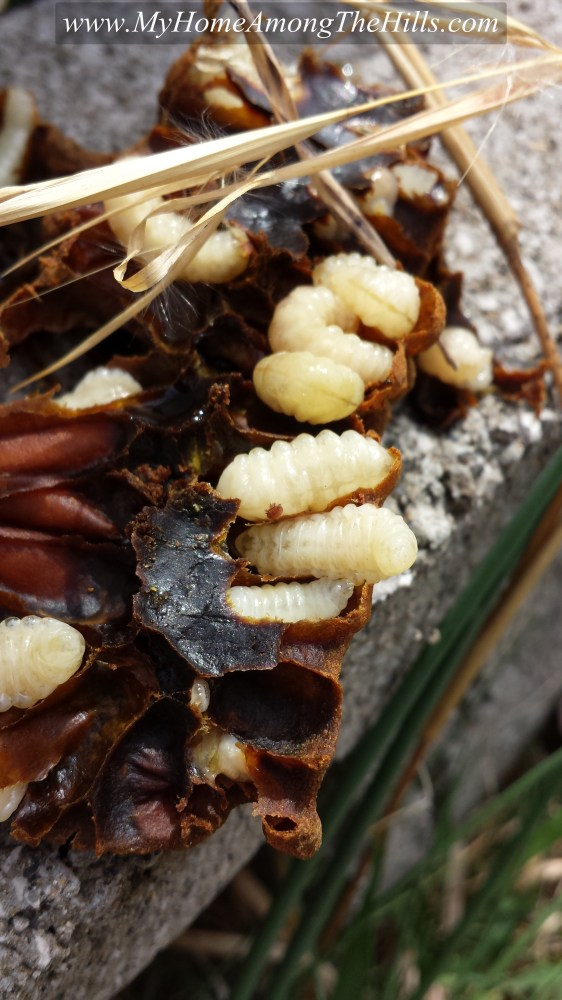 Varroa mite on a drone pupa