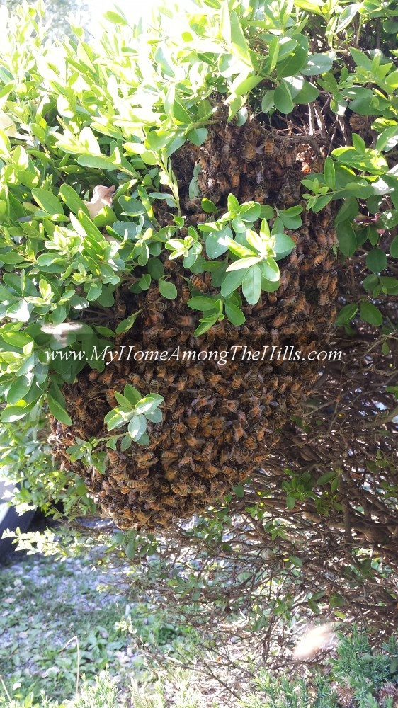 An easy swarm on a bush in Kanawha City