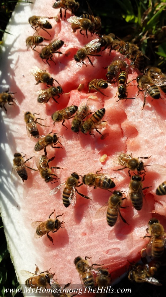 Bees on watermelon