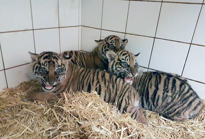 Drei junge Sumatra-Tiger im Heidelberger Zoo