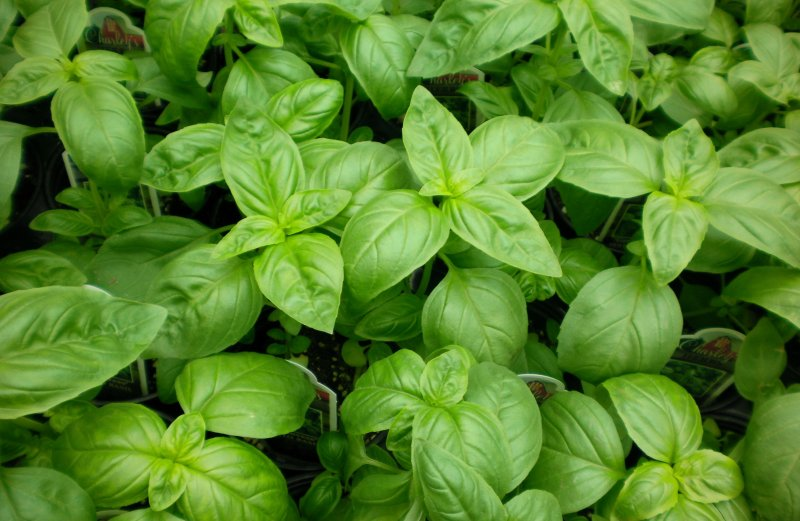 Risks Of Basil During Pregnancy