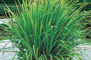 Lemon Grass: Leeli Chai/Lemon Grass Health benefits