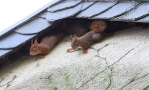 roof squirrels