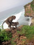Macaque monkeys have a Discovery Channel moment at Ulu Watu, Bali Indonesia| Photo by Todd L. Cohen, 50and50by50.com