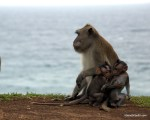 These baby monkeys (baby macaques) were so playful - Bali, Indonesia (Ulu Watu)