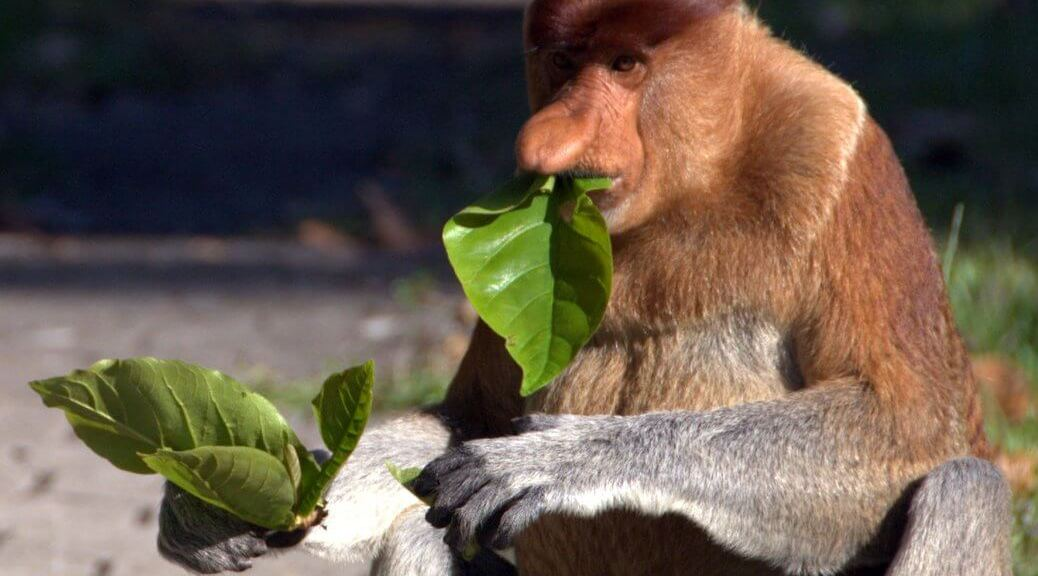 Probiscus Monkey eating